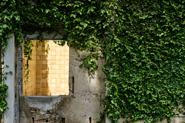 Architecture Building Built Structure Green Green Color Growing Growth No People Outdoors Plant Ruins Ruins Architecture Tree Wall Wall - Building Feature