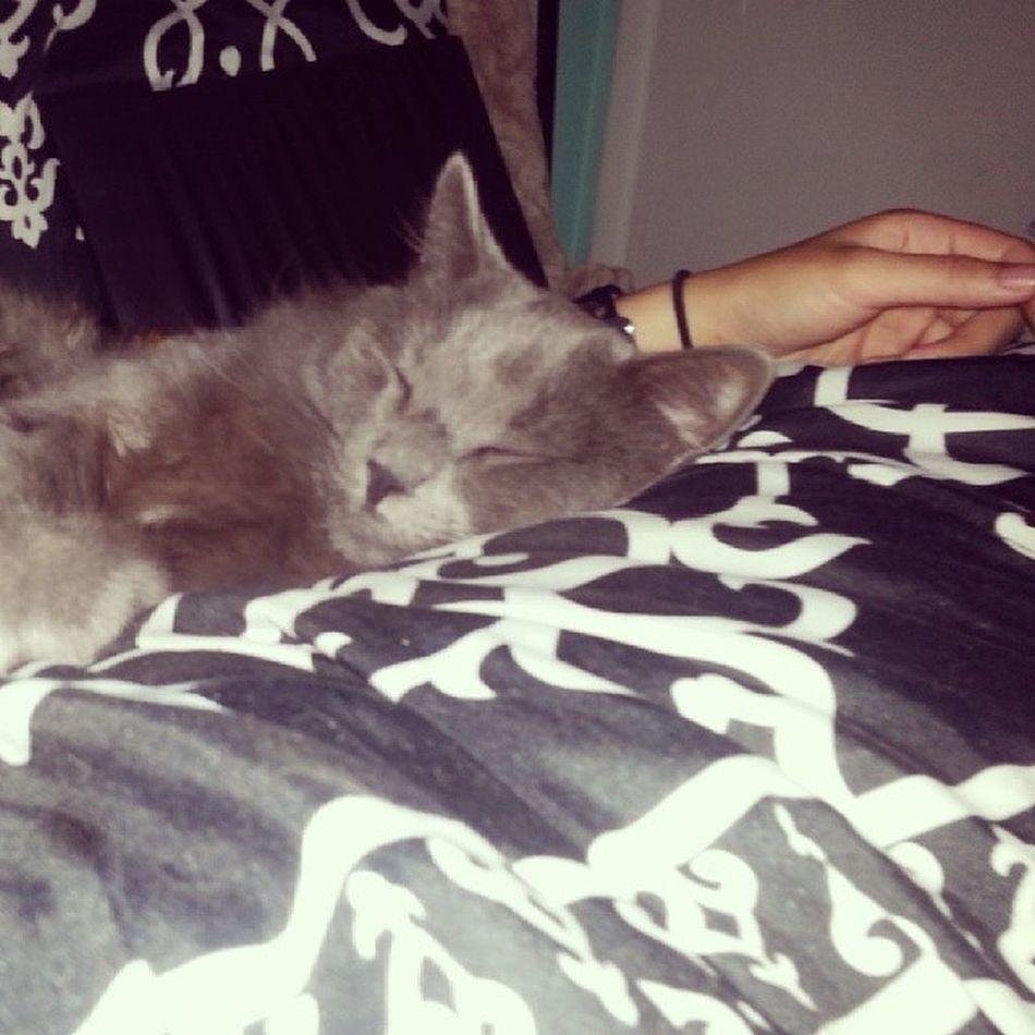 Lazybaby Gfscat Ragdoll Sleepy purring chilling waitingformamas