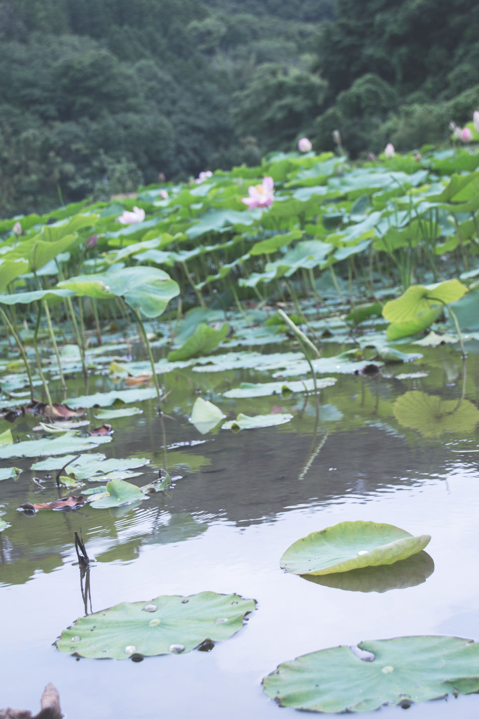 Lotus Water Reflections Mild Days The Calmness Within Landscape A Moment Of Zen... Greenery Human Vs Nature Pastel Learn & Shoot: Layering