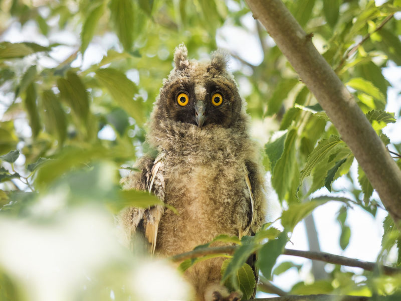 Animal Themes Animal Wildlife Animals In The Wild Close-up Day Gufo Leaf Looking At Camera Low Angle View Nature No People One Animal Outdoors Owl Portrait Tree