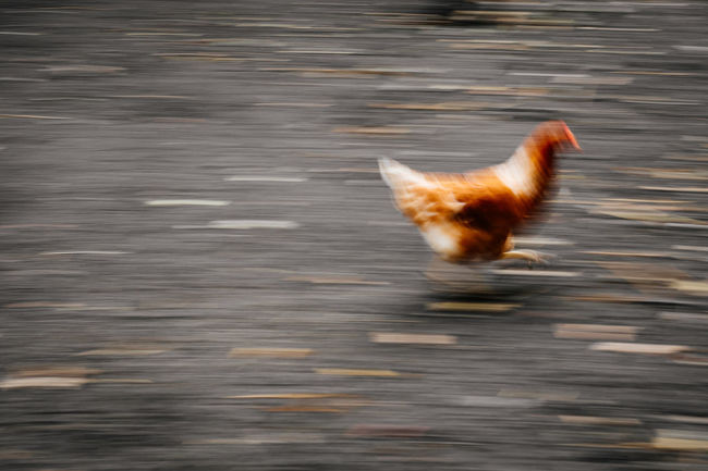the annual chicken race 2016 Capturing Motion Chicken Long Exposure Nature No People One Animal Outdoors Playing Race Racetrack Running Speed