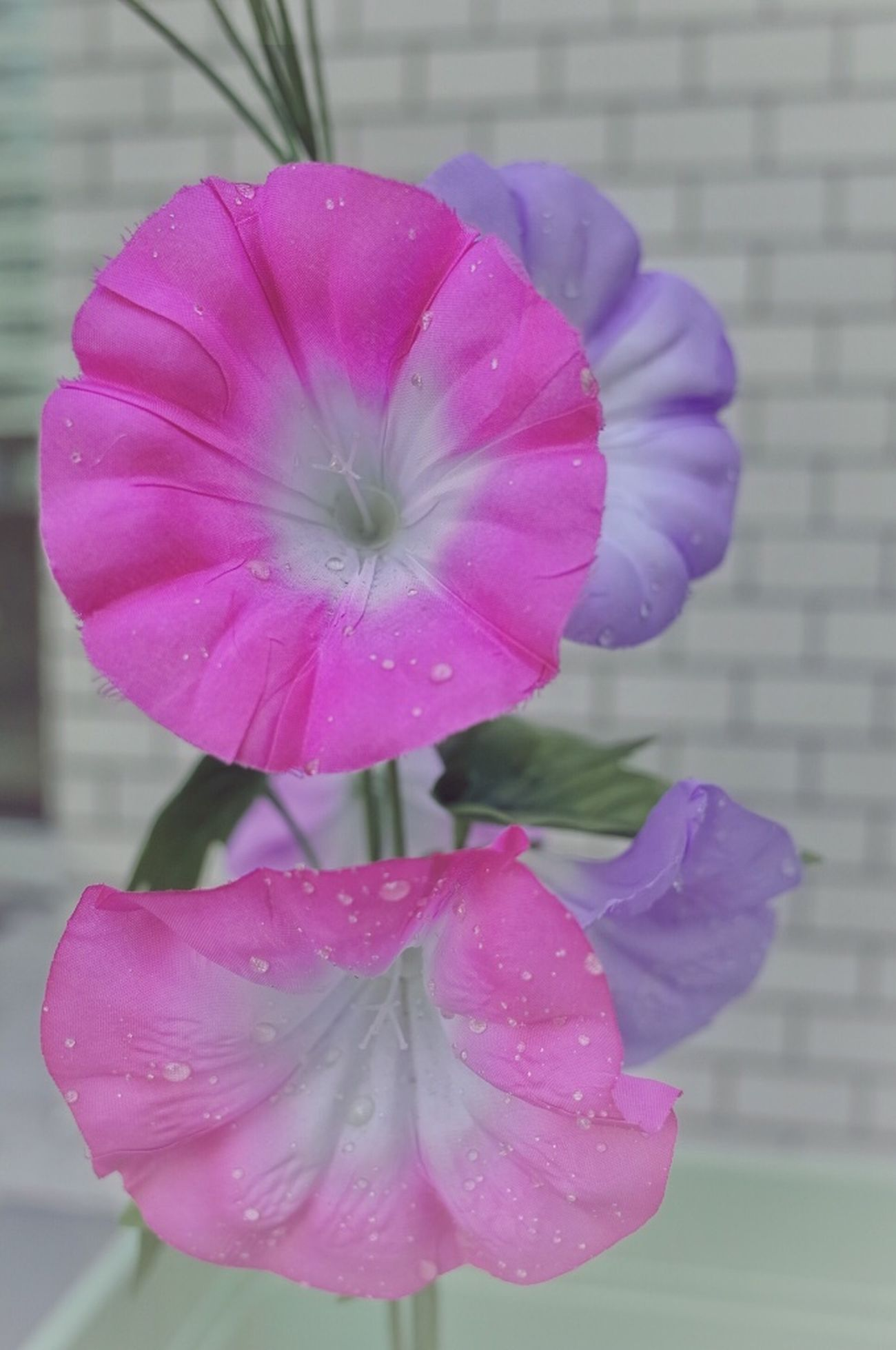 Morning Glory Good Morning! Toranomon Nature A Day Of Tokyo Still Life Capture The Moment Found On The Roll Taking Photos EyeEm Gallery Japan Tokyo Somewhere Urban Landscape Battle Of The Cities Streetphotography EyeEm Nature Lover Flowers, Nature And Beauty Natural Beauty Flowers Atmospheric Mood Nature Photography Urban Nature Waterdrops Nature On Your Doorstep Flowers,Plants & Garden