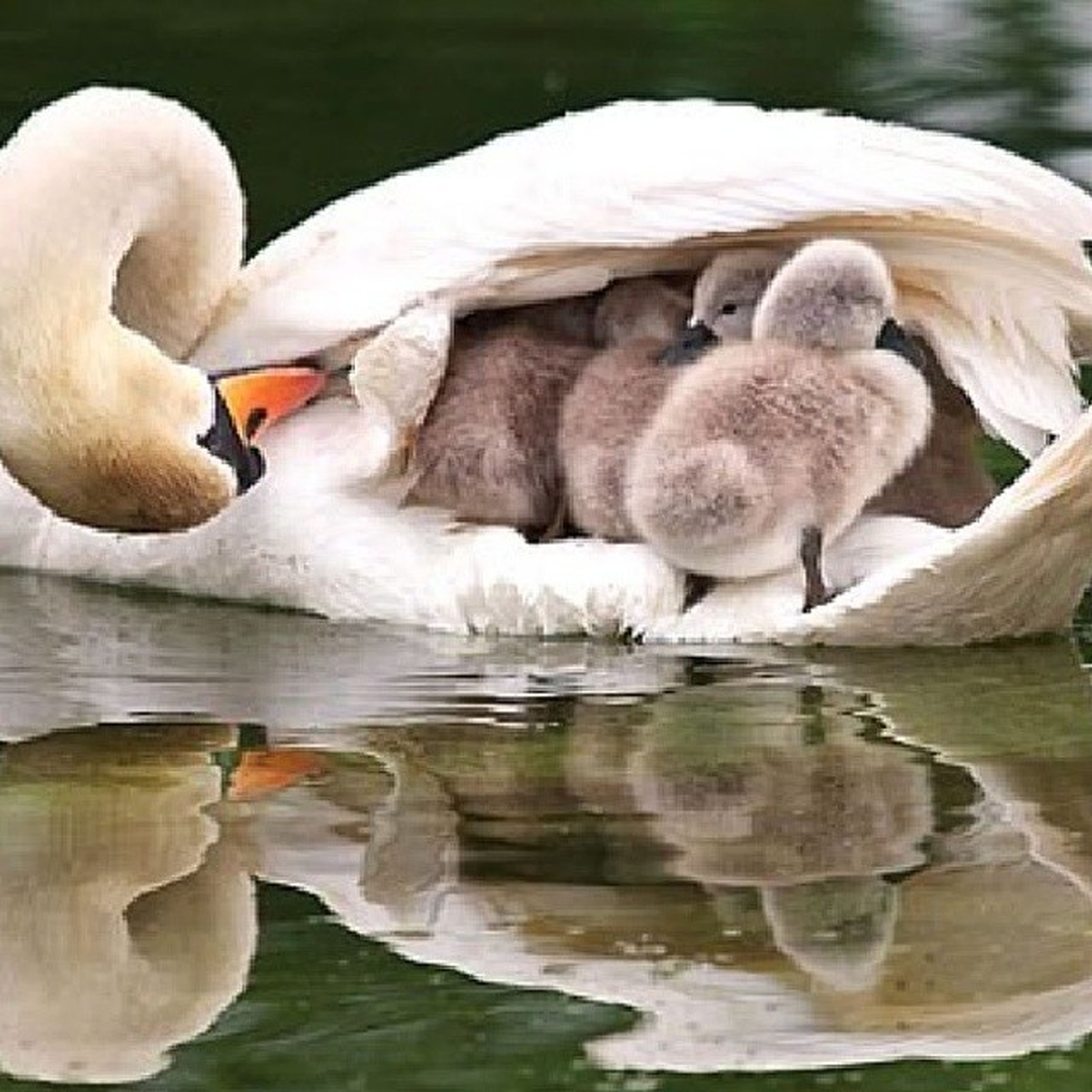 animal themes, bird, swan, lake, animals in the wild, water, wildlife, swimming, white color, beak, water bird, reflection, nature, waterfront, togetherness, animal family, duck, floating on water, rippled