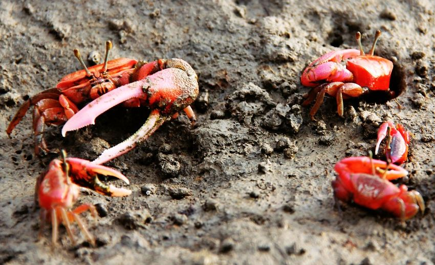 Crab fight Bangladesh Chittagong Crab Crab Crazy Enjoying Life Eye4photography  EyeEm Best Shots EyeEm Best Shots - Nature EyeEm Gallery EyeEm Masterclass EyeEm Nature Lover Fahimz7 Micro Nature Nature Selective Focus Shoot For Fun Wildlife Wildlife Photography