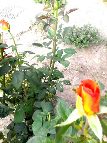 Outdoors Plant Nature Red Vibrant Color Orange Color Growing Beauty In Nature Petal In Bloom Flower Leaf Growth Blossom Showcase: 2016 Eyeemphoto Eyeem Market Wolfzuachis Ionitaveronica @wolfzuachis 2016 No People Nature Plants Dirt
