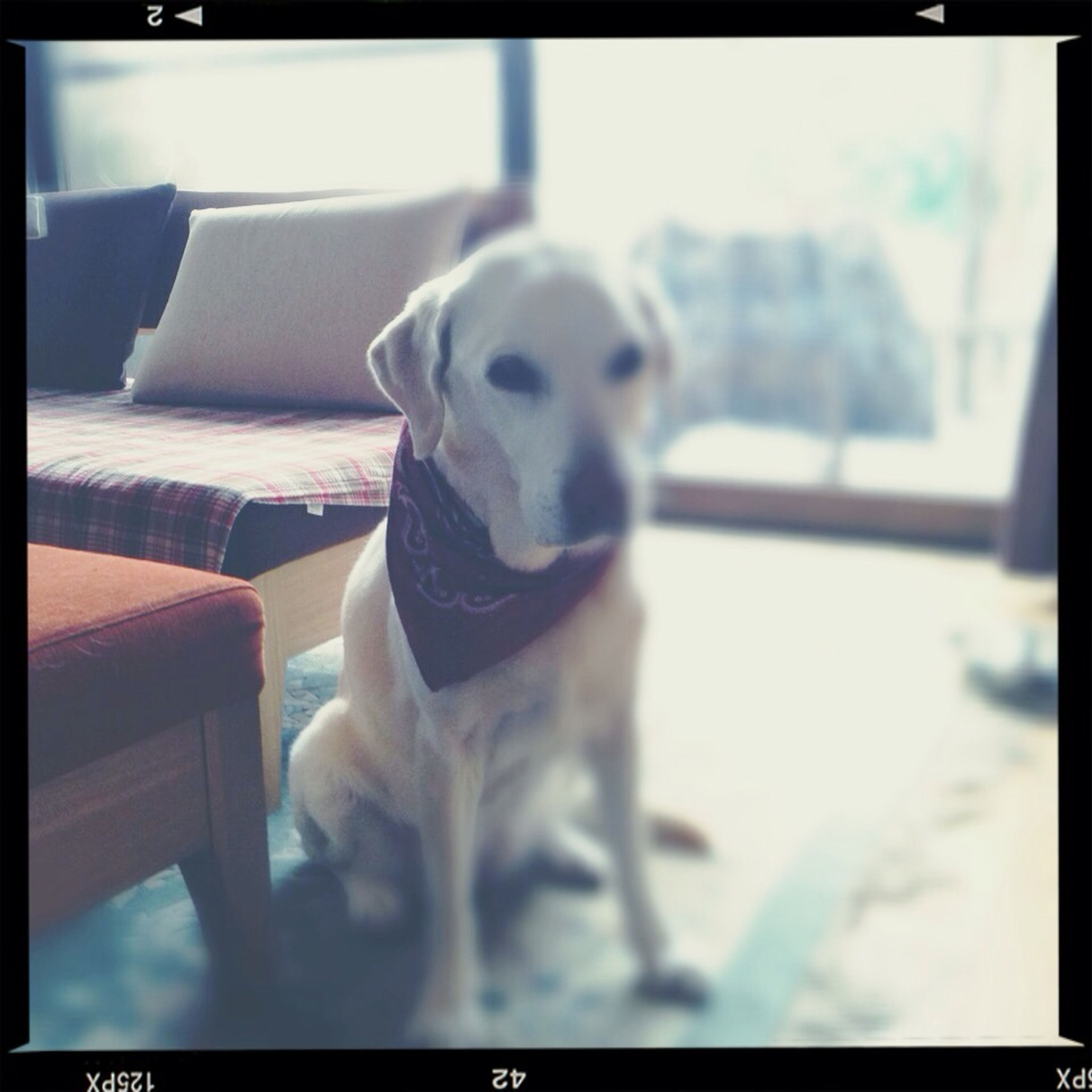transfer print, auto post production filter, pets, one animal, dog, domestic animals, animal themes, indoors, portrait, looking at camera, mammal, close-up, focus on foreground, sitting, selective focus, window, day, animal head, front view