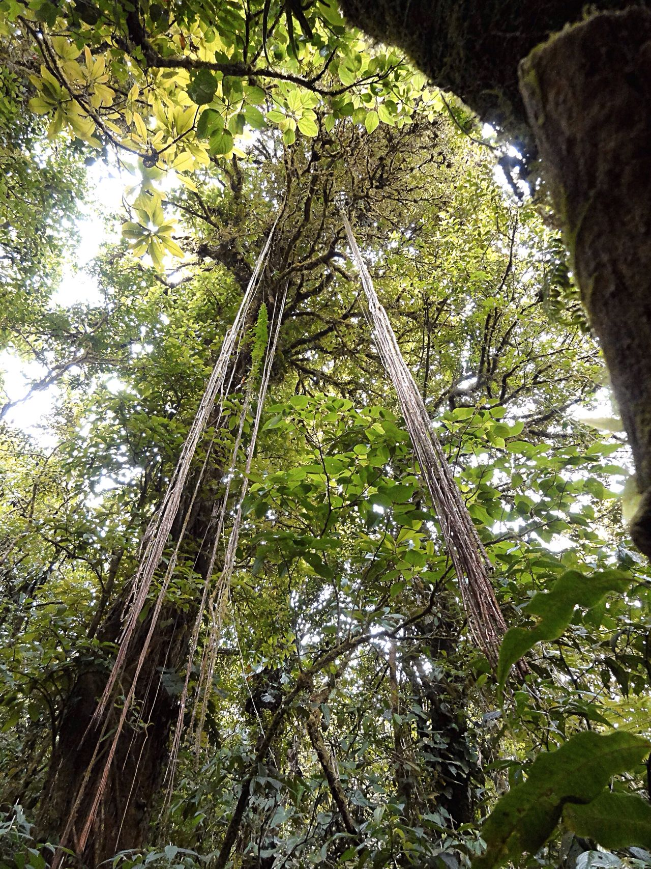 Jungle Welcome To The Jungle Tree TreePorn Liana In The Forest Forestwalk Costa Rica
