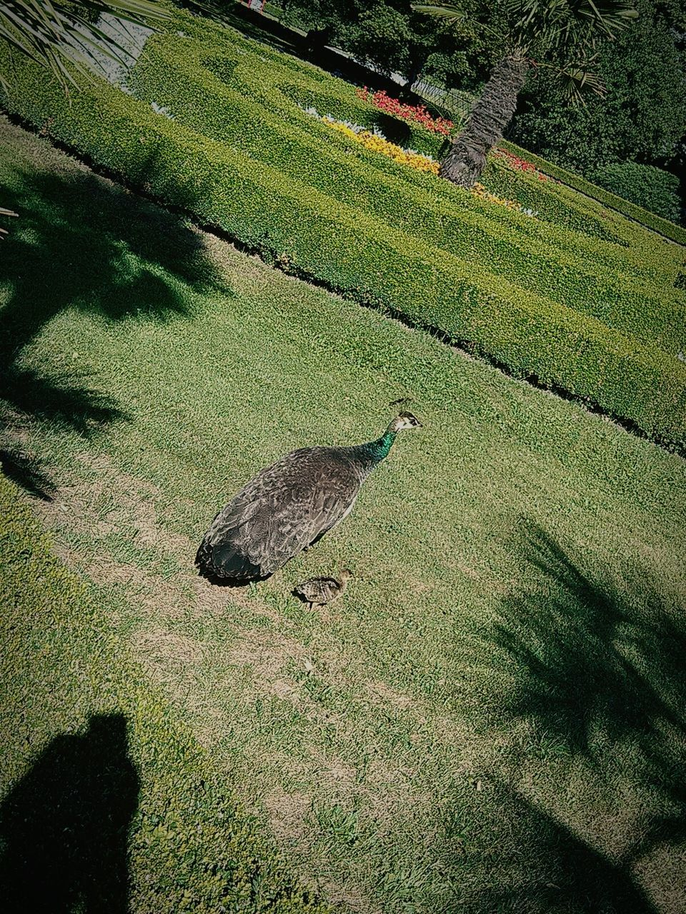bird, grass, green color, animal themes, animals in the wild, day, field, nature, one animal, shadow, high angle view, growth, outdoors, no people, animal wildlife