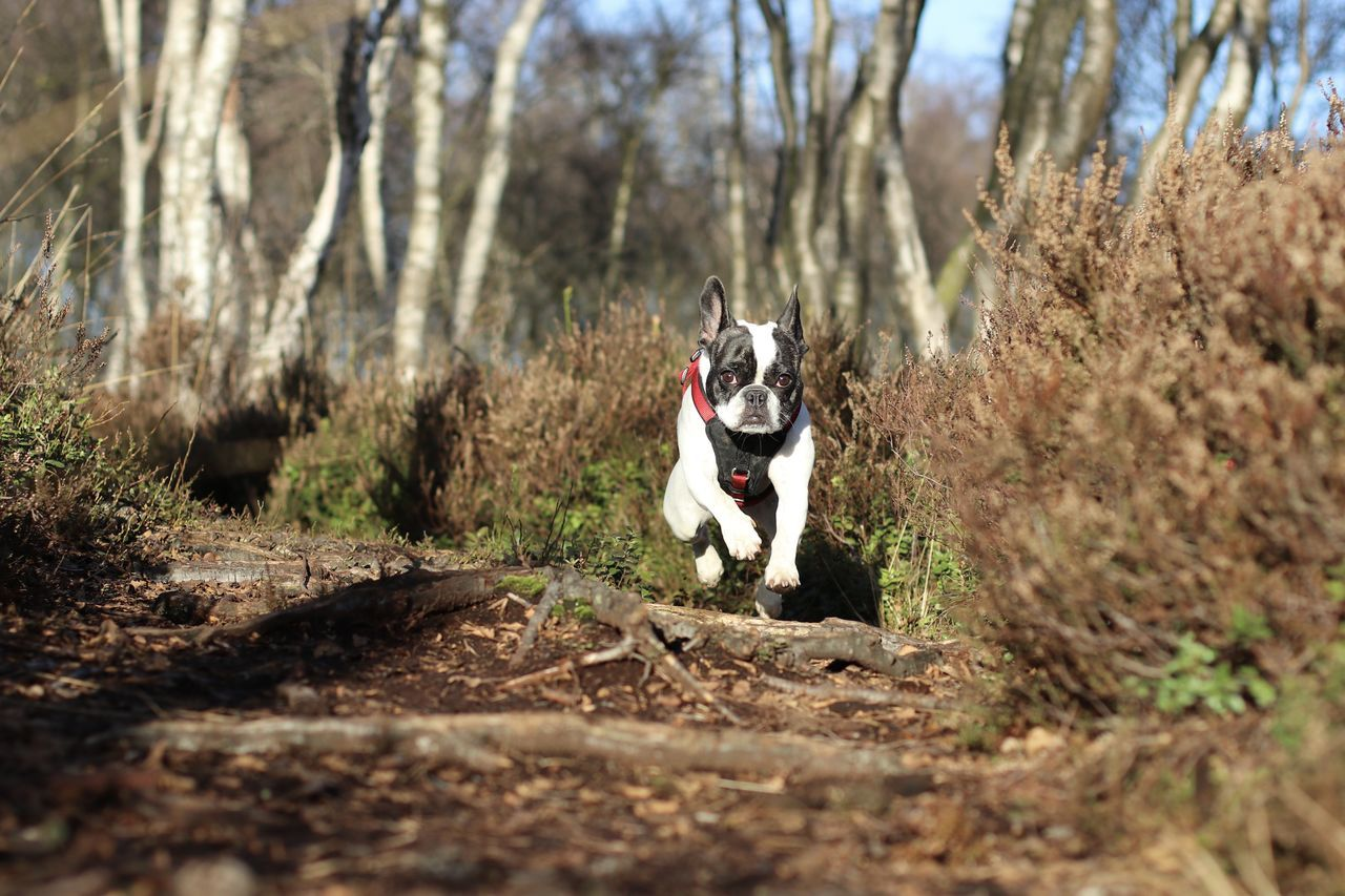 French Bulldog Running On Field At Forest