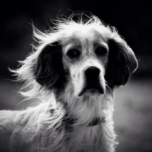 Bw_dogs English Setter Thisbe