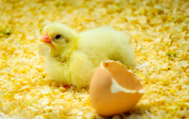 Animals Birthday Chicken Or The Egg First Color Palette Egg Shells First Day Hatching Making It Through New Life Begins Newly Born Small Bird Yellow Bird Young Animal