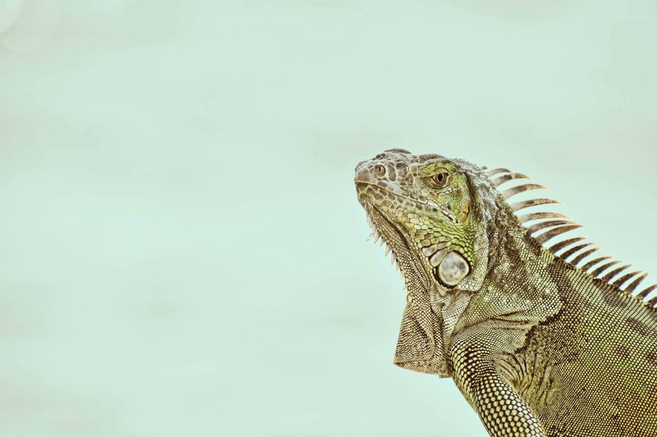 reptile, one animal, animals in the wild, animal themes, animal wildlife, day, no people, iguana, outdoors, sky, close-up, nature