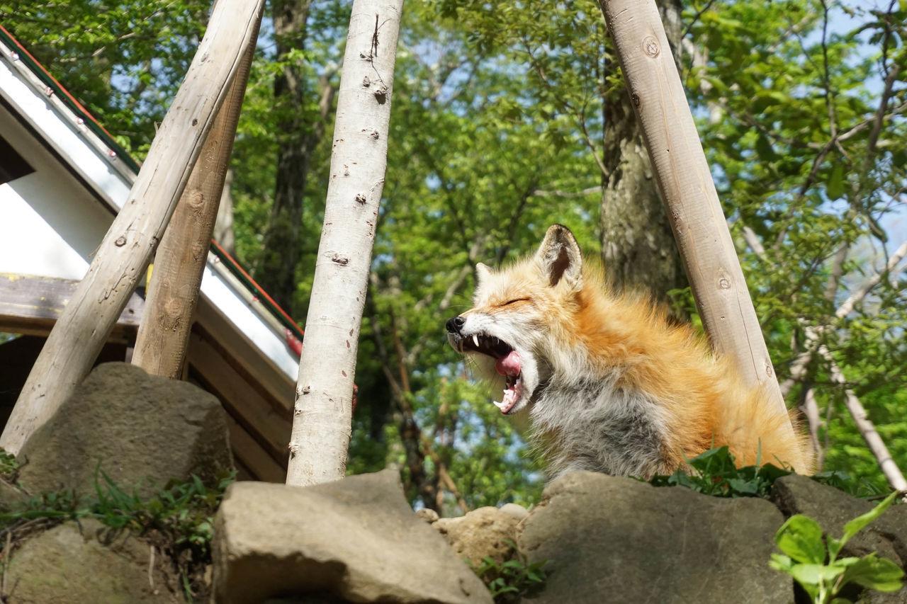 Japan Miyagi ZaoFoxVillage Fox Foxes Animals My Year My View