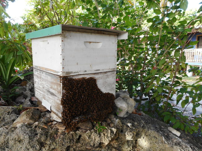 Honduras Roatan Agriculture Animal Themes Animals In The Wild APIculture Bay Islands Bee Beehive Day Growth Leaf Nature No People Outdoors Plant