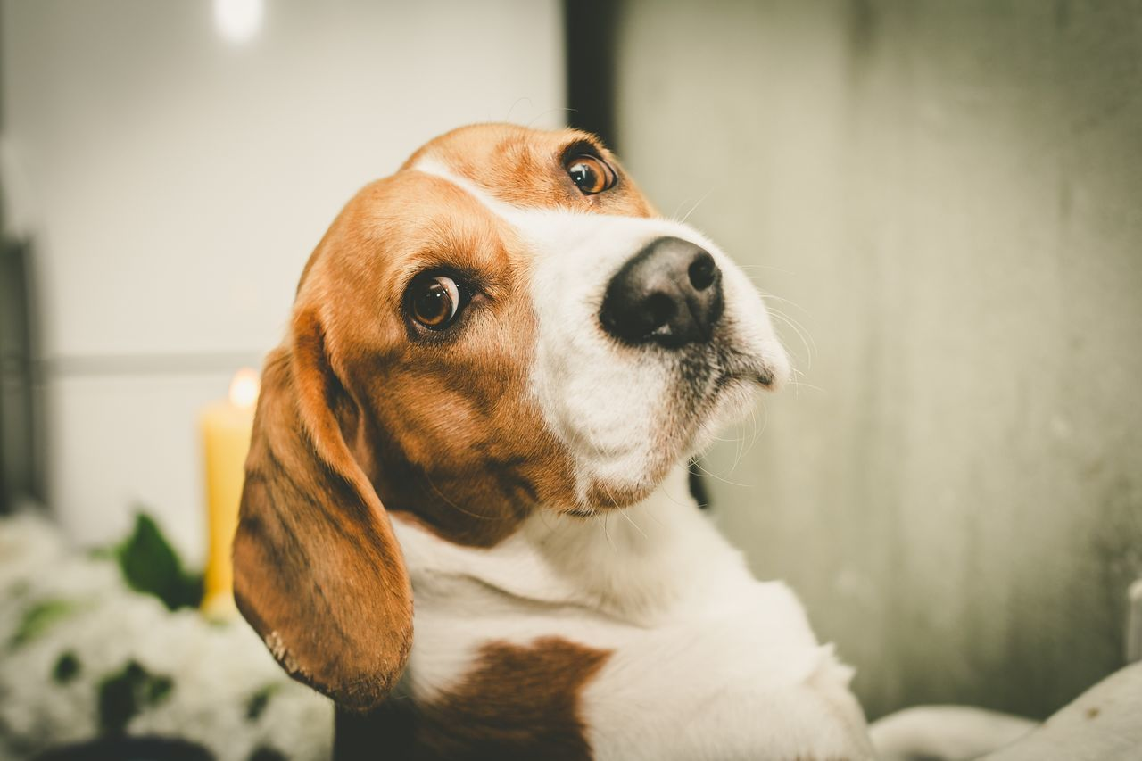 Dog Pets One Animal Animal Themes Domestic Animals Close-up No People Indoors  Portrait Beagle Day Nature