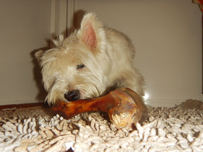 Animal Love Animal Themes Bones Close-up Day Dog Dog Bone Dog Eating Dog Love Dog Treats Domestic Animals Indoors  Mammal No People One Animal Pets Terrier West Highland White Terrier Westie