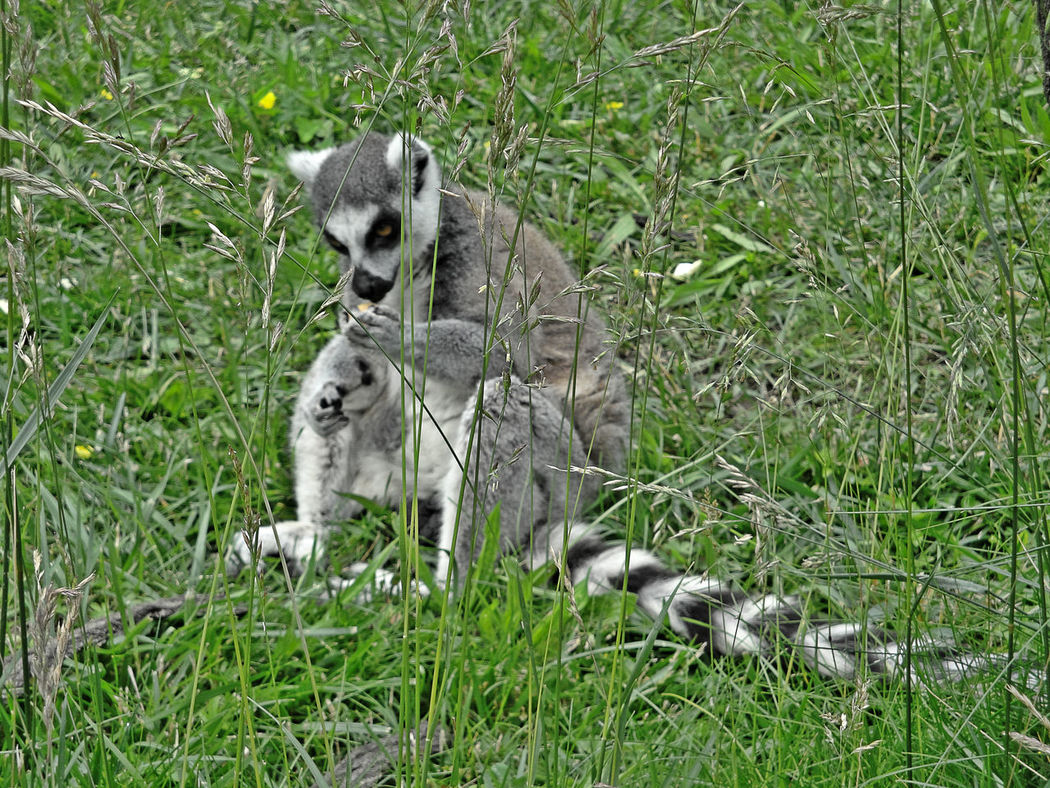 Animal Animal Themes Animal Wildlife Animals In The Wild Beauty In Nature Concerntration Contemplation Day Field Grass Green Color Ground Growth Happy Interesting Leisure Lemur Mammal Mischievous Nature No People Outdoors Sitting Tail White Black