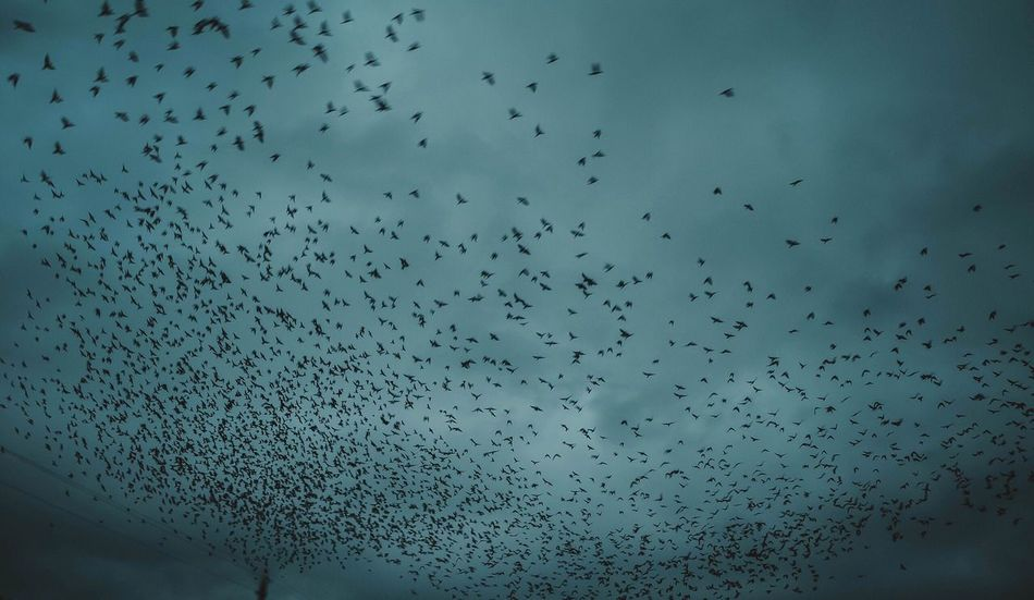 Flying Large Group Of Animals Flock Of Birds Migrating Animal Themes Bird Animals In The Wild Nature Sky Low Angle View No People Animal Wildlife Outdoors Day Beauty In Nature