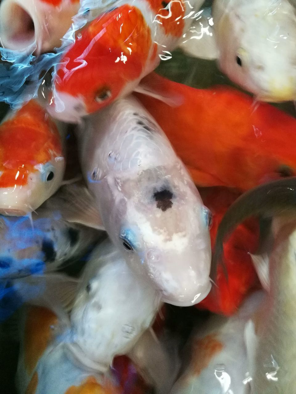 animal themes, swimming, water, no people, large group of animals, animals in the wild, koi carp, sea life, close-up, nature, underwater, day, indoors, undersea