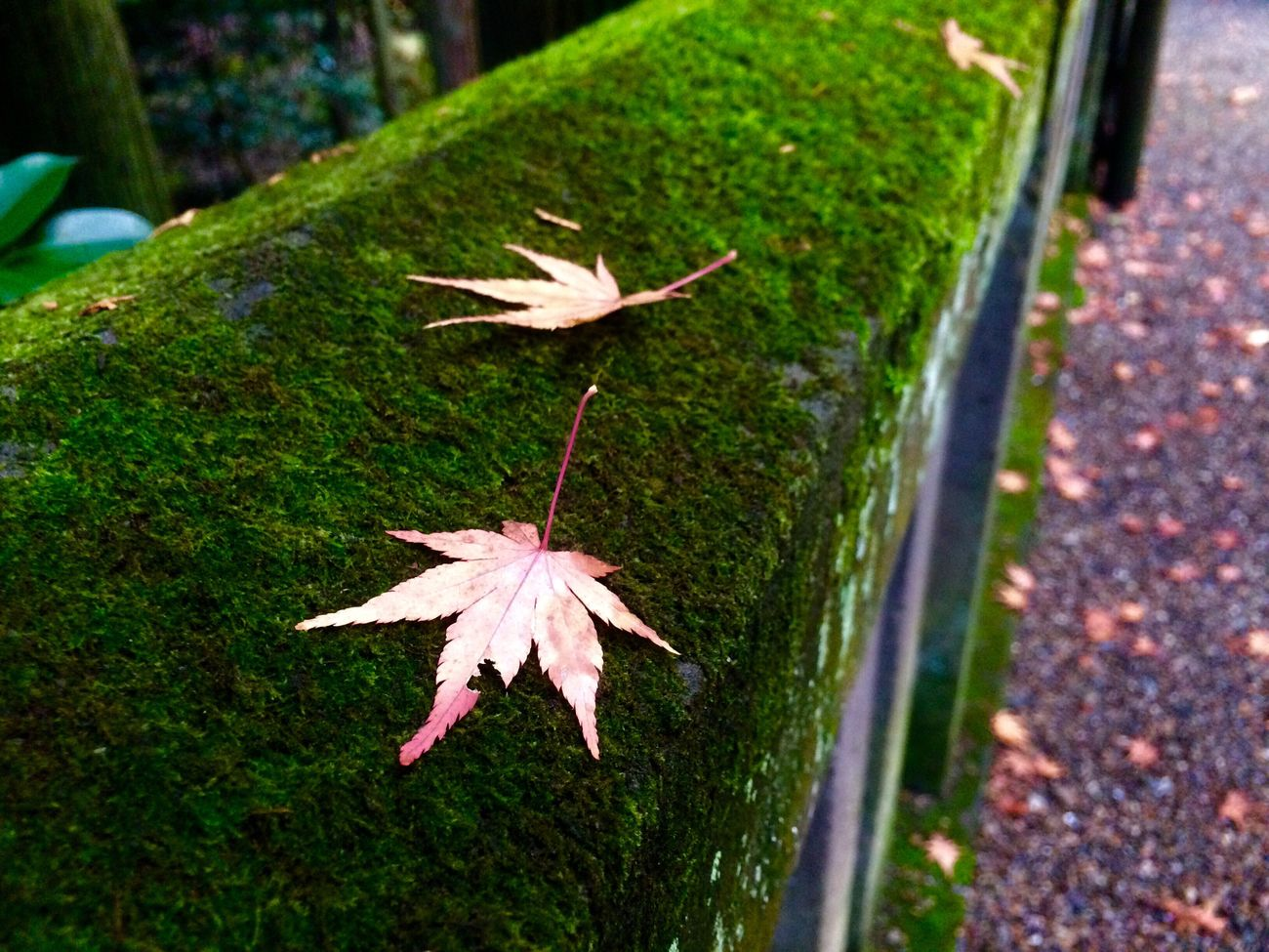 Nature Growth Plant High Angle View Day Leaf Green Color No People Outdoors Close-up Beauty In Nature Animal Themes Maple Leaf Hello World Japan Japanese  Iphonegallery Hope https://youtu.be/RS3ThhcelIE