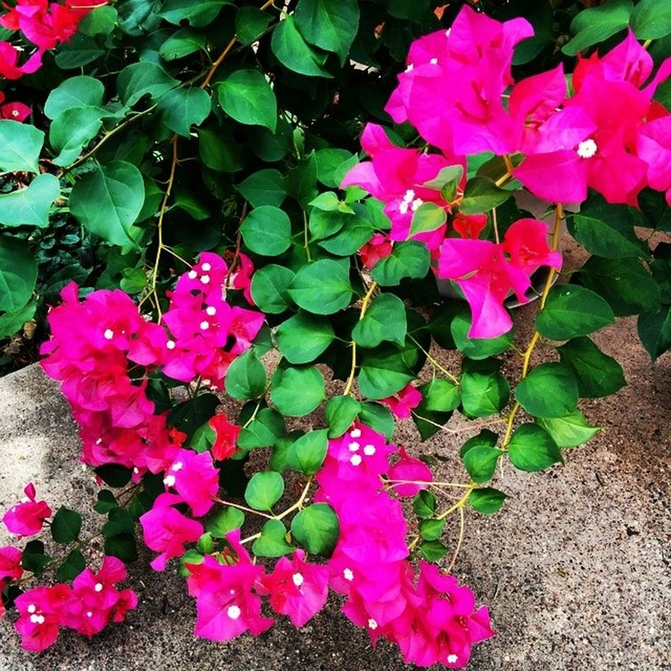 Plants do talk, they use sign language. My Bougainvillea is telling me it appreciates all of my careful attention! Fb MyBackGarden