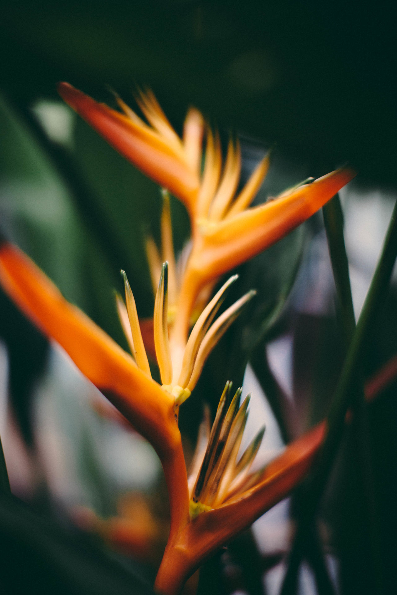 Beauty In Nature Bird Of Paradise - Plant Close-up Day Flower Flower Head Fragility Freshness Growth Nature No People Orange Color Outdoors Petal Tropical Flower