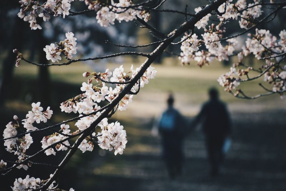 👫🌸❤️🇯🇵 Flower Cherry Blossom Blossom Fragility Branch Cherry Tree Tree Beauty In Nature Nature Springtime Apple Blossom Apple Tree Orchard Growth Freshness Two People Twig Focus On Foreground Men Petal Nikon City 一眼レフ 一眼