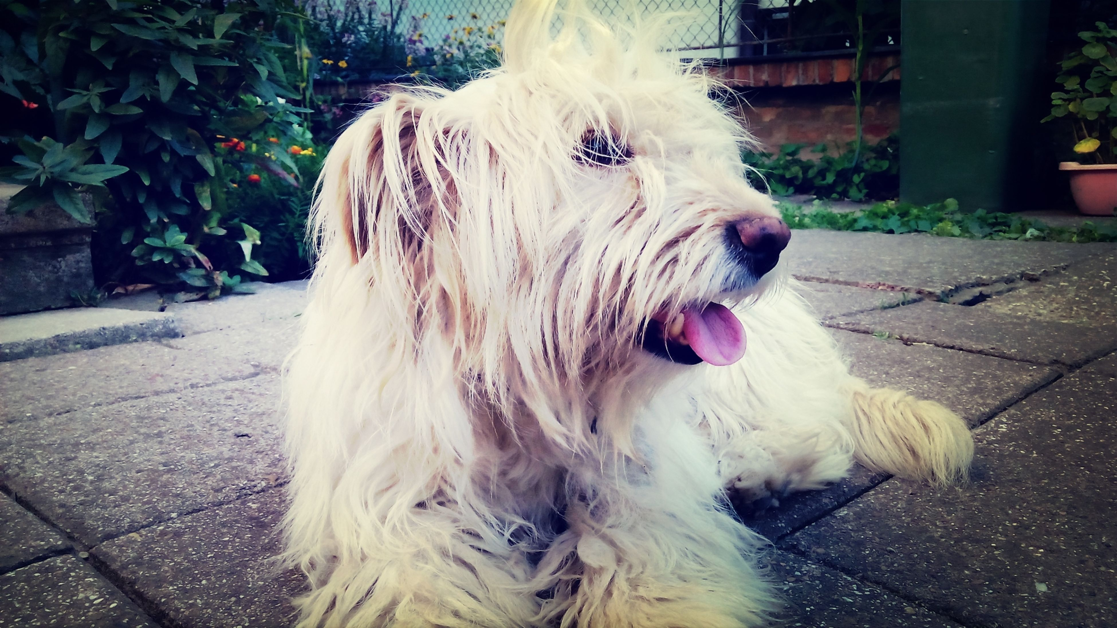 domestic animals, animal themes, mammal, one animal, pets, dog, animal head, animal hair, close-up, outdoors, street, sunlight, day, no people, front view, relaxation, looking away, animal body part, portrait, white color