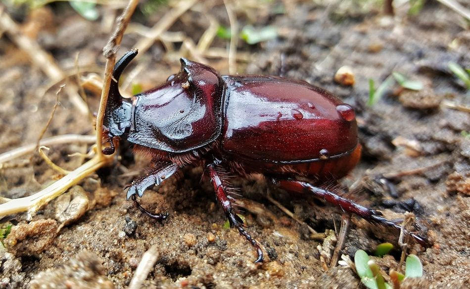 Insect Animal Themes One Animal Animals In The Wild No People Close-up Nature Ant Animal Leg Beetle Day Outdoors Rhinoceros Beatl Beatle In My Garden Beatlemania Beatles Beatle Animals In The Wild Beauty In Nature Nature Growth Mammal