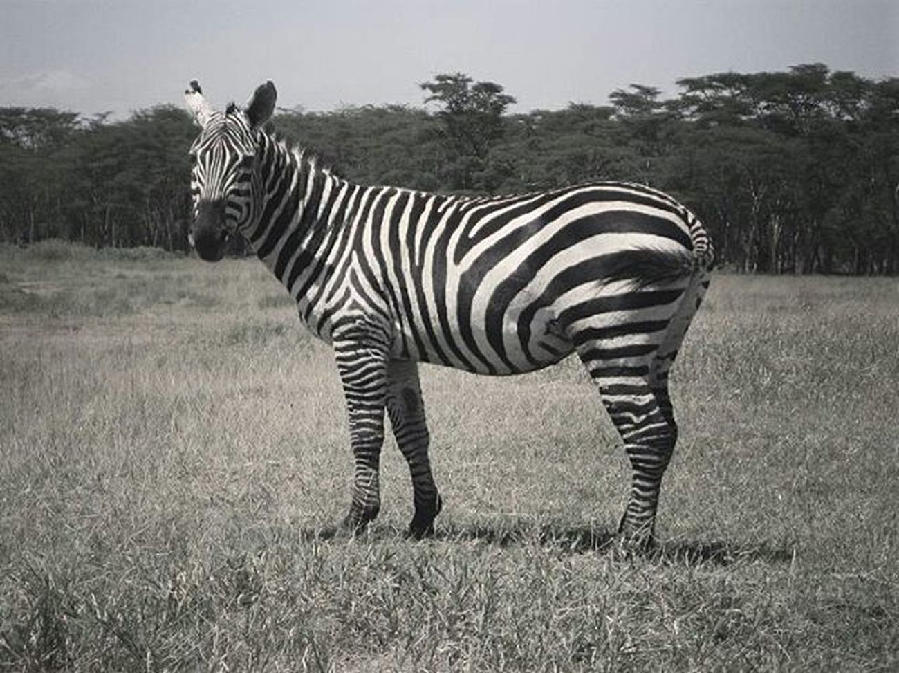 """A million People asking Themselves weather a Zebra is Black with white stripes or White with black Stripes . But Honestly who Cares about. It is a Beaut by Itself ."" 👣🔹 Make .life.creative Nature Food Traveling Music Citylife Art Fashion"