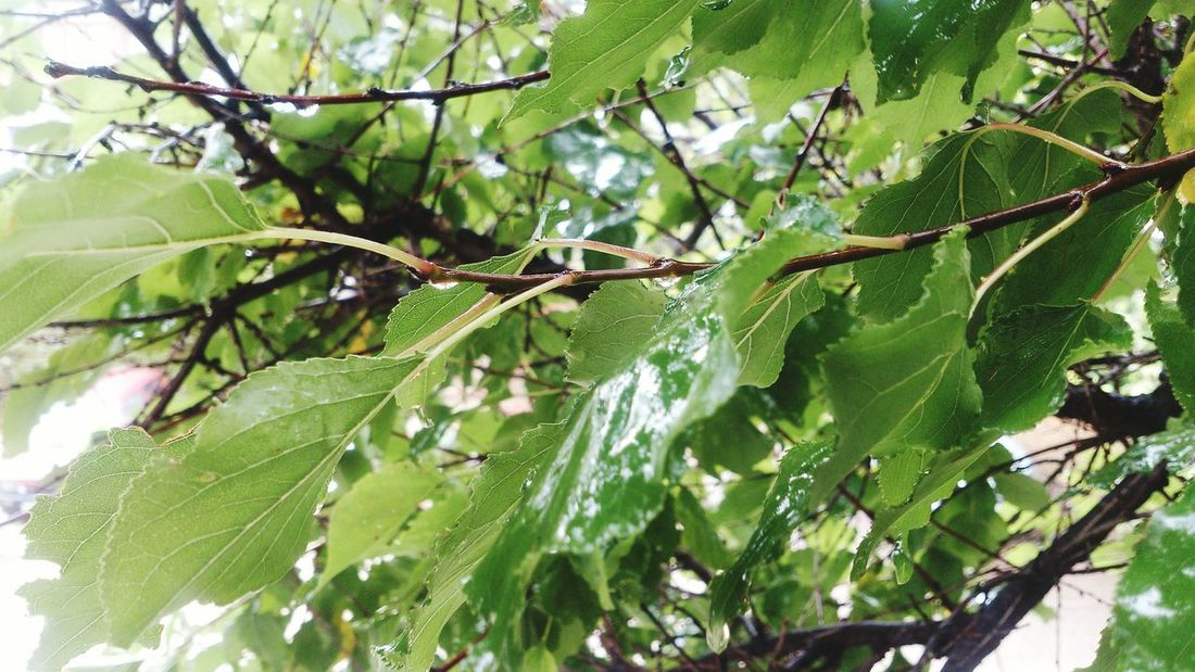 Season of rain began in Sevastopol  Leaf Branch Growth Green Color Tree Beauty In Nature Nature Day Leaves Branches Botany Apricot Tree Rainy Days Rain