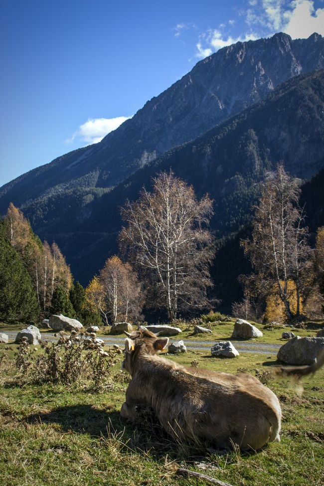 Cow Mountains Llacdesantmaurici Nature_collection Nature Photography Nature Naturelovers Animals Hanging Out Naturephotography Copy Space