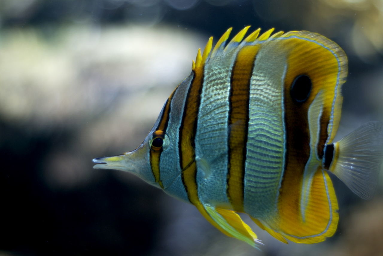 Beautiful stock photos of fish, , Animal, Aquarium, Aquatic