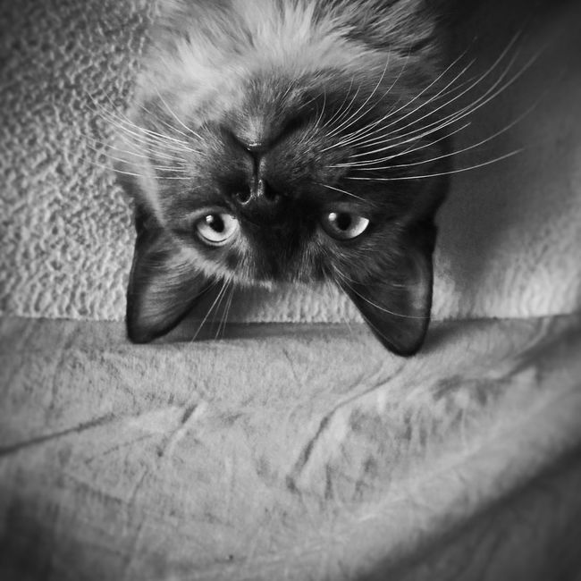 Que hoy dice que no se levanta de la cama.... Cat Gato Cat Lovers Catsofinstagram Catoftheday Black And White JohnnyGarcía Blackandwhite Photography Blackandwhite Popular Photos