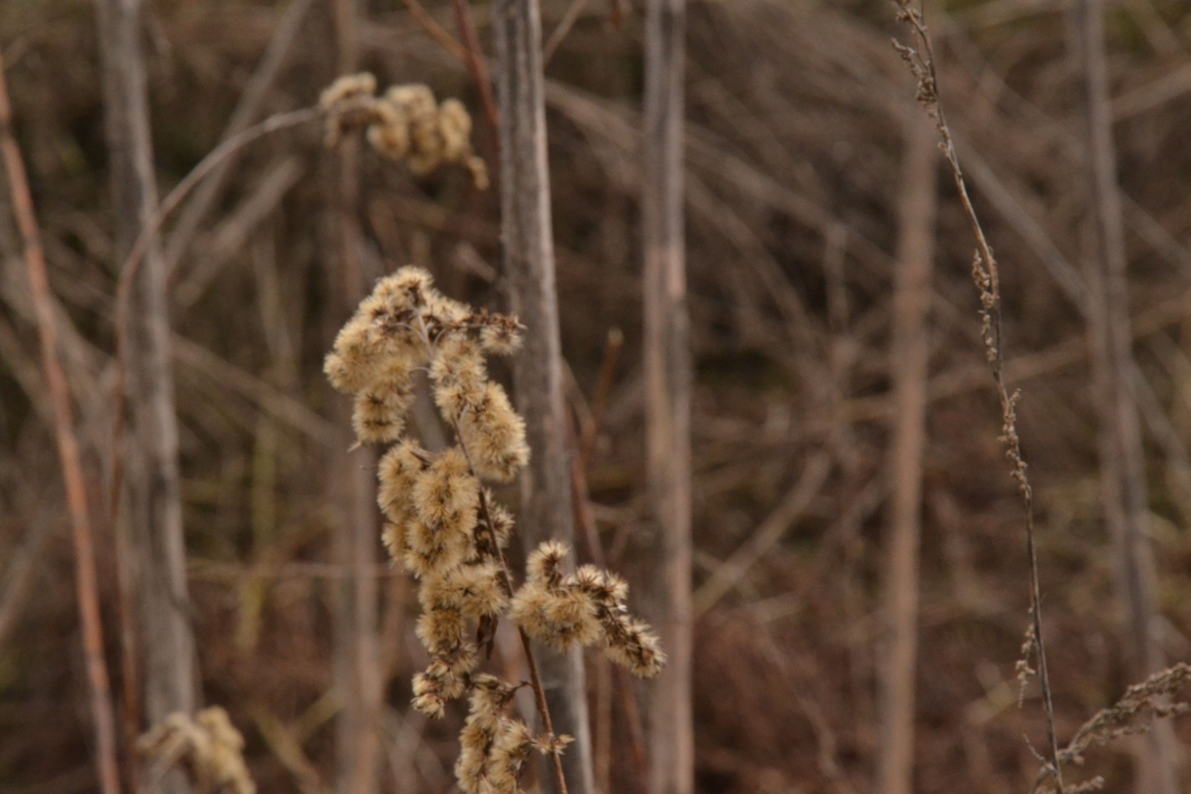 nature, focus on foreground, plant, growth, no people, tranquility, cattail, beauty in nature, day, close-up, outdoors, dried plant
