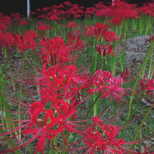 My funny valentine ❤ Streamzoofamily Autumn Spider Lilies