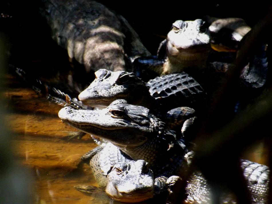 Alligators Baby Alligators Basking In The Sun Close-up Florida Mangrove Focus On Foreground Wildlife & Nature