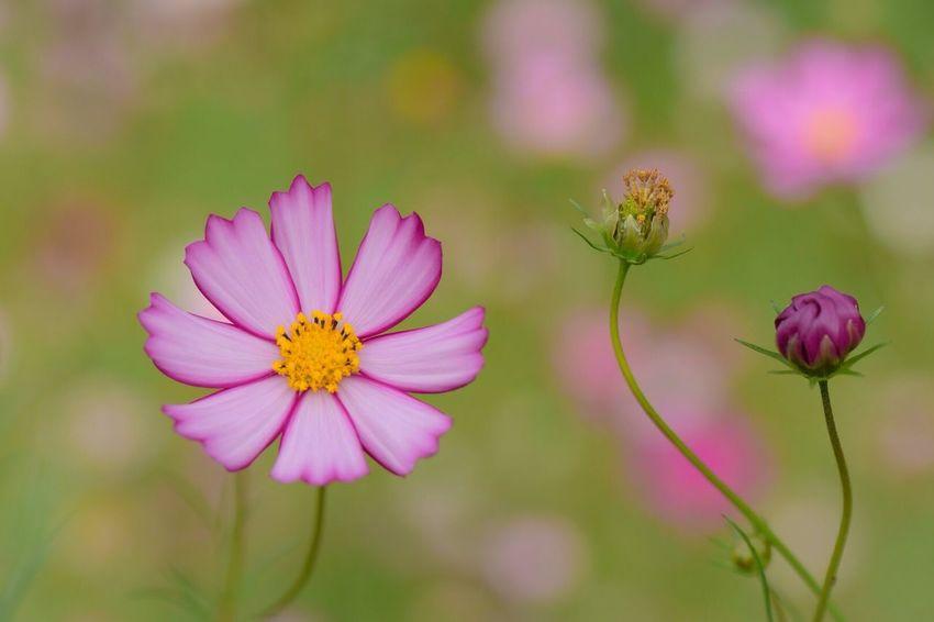 愛らしい Flower Fragility Beauty In Nature Freshness Nature Petal Growth Flower Head Blooming Plant Close-up No People Day Pollen Outdoors Cosmos Flower