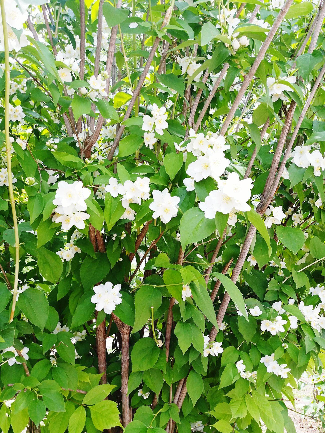 Flower White Flower Nature 🌼flowers🌼