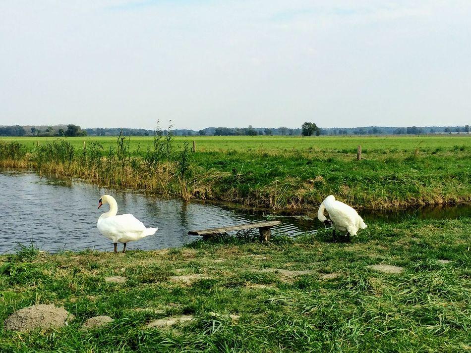 Animal Bird Animal Themes Nature Swan Sky