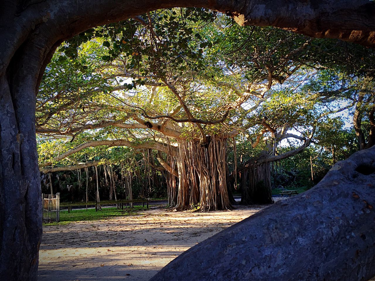 Hidden Gem Banyan Tree Florida Ft Lauderdale Hugh Taylor Birch State Park Hidden Places Hidden Gem Nature