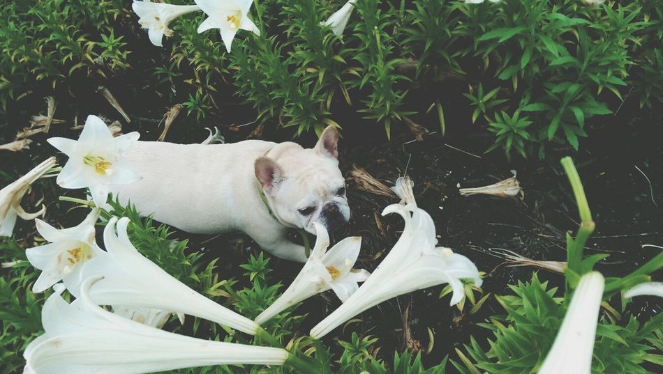 Beautiful stock photos of bulldog, Animal Themes, Bulldog, Day, Dog