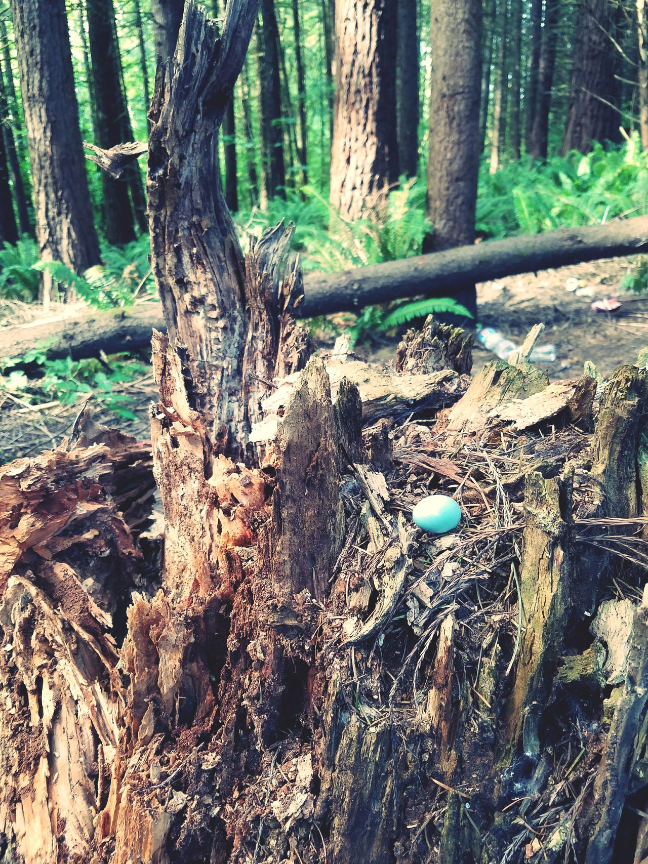 Egg Tree Trunk Tree Forest Nature Day Outdoors WoodLand No People Tranquility Growth Beauty In Nature Scenics Branch Close-up Bird Egg Blue
