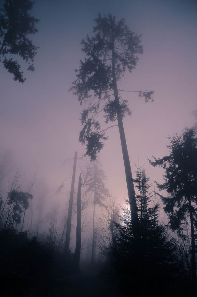 Tranquility Silhouette Tree Tranquil Scene Fog Growth Beauty In Nature Tall - High Nature Low Angle View Tree Trunk Non-urban Scene Dark Sky Outline Scenics Tall Forest WoodLand Foggy