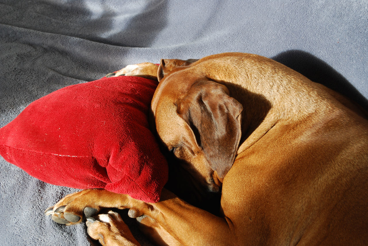 Dog takes a nap. Animal Themes Animals Bed Close-up Dog Domestic Animals Indoors  Napping Dogs No People One Animal Pets Relaxation Resting Rhodesian Ridgeback Sleeping