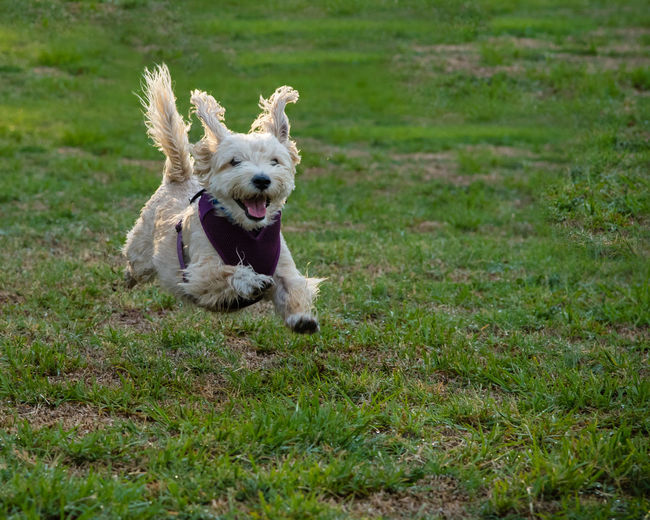A terrier-mix joyfully flys through the air during a run on the grass. Action Animal Themes Can Day Dog Domestic Animals Energy Field Flying Free Full Length Grass Happy Harness Joy Law Lifestyles Mammal Nature No People One Animal Outdoors Pets Running Small First Eyeem Photo