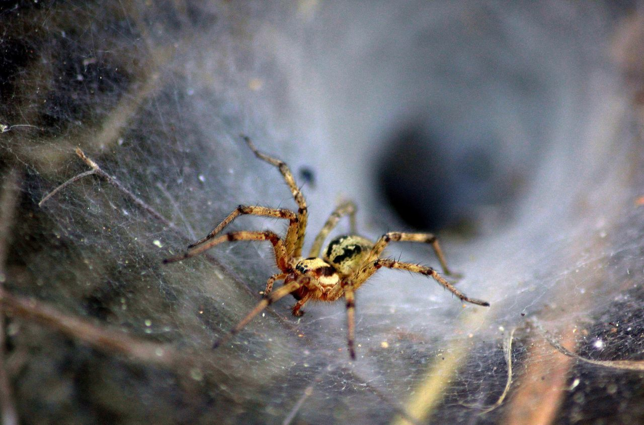 Agelena Labyrinthica, Tunnel Spider. Agelena Labyrinth Spider Spiderweb Spider Web Spiders Spiderworld Web Tunnel Cotton Close-up Close Up Animal Themes Arachnid Arachnophobia Animals In The Wild Animal Wildlife Nature Insect No People Jumping Spider Outdoors Hairy  Legs Nature