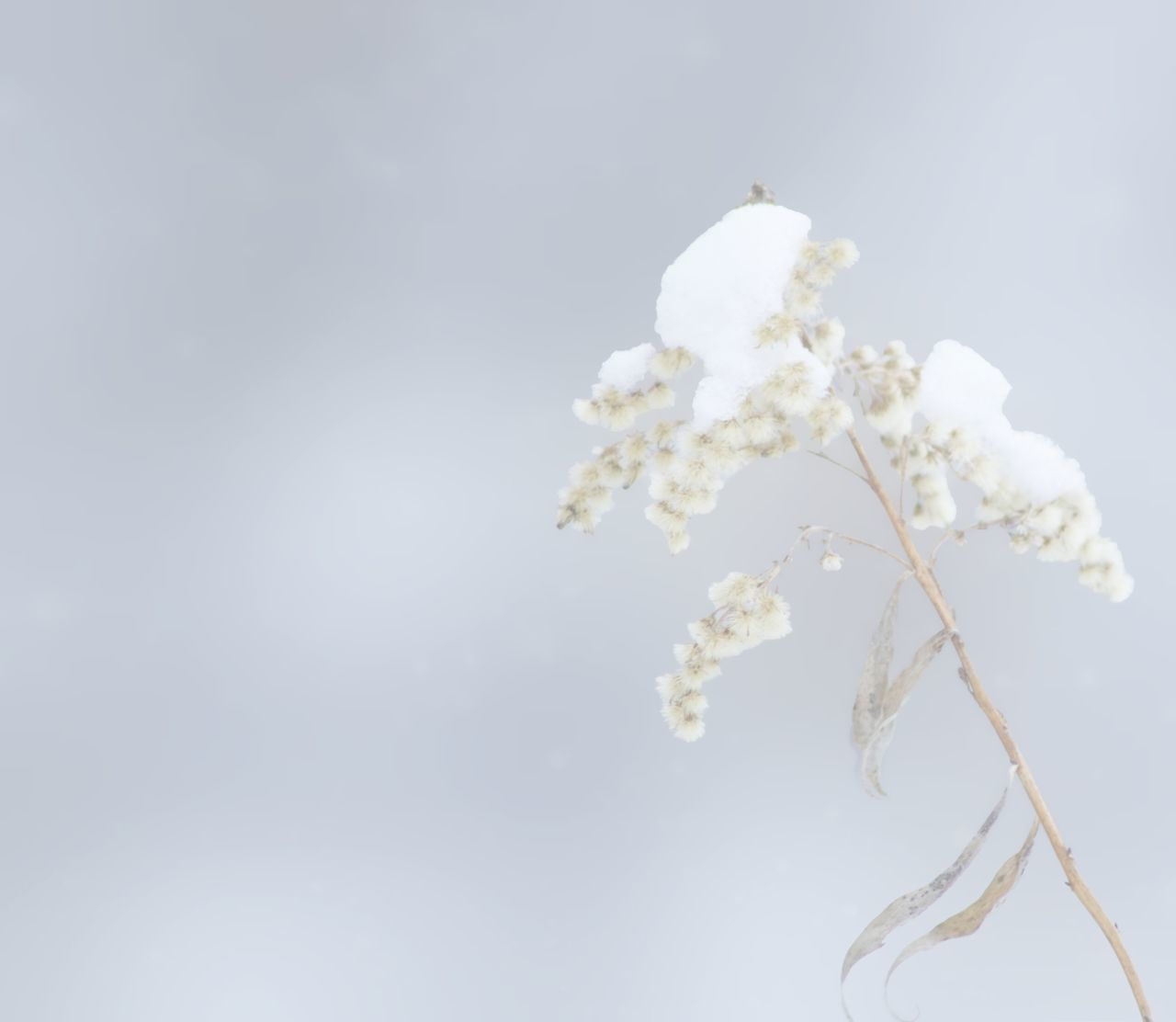 Barren Beauty In Nature Botany Composition Growing Lens Flare Nature Negative Space No People Non-urban Scene Outdoors Scenics Single Object Snow Covered Snow On A Wildflower Softness Sunny Tranquil Scene Tranquility White White Color Winter Calm Winter Sleep Winter Wonderland Winter Woodland