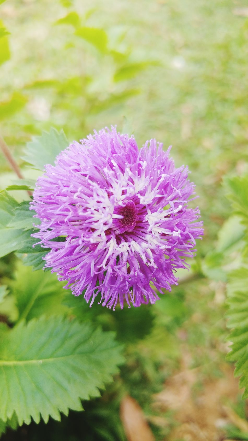 Flower Purple Nature Plant Growth Fragility Beauty In Nature No People Petal Flower Head Freshness Outdoors Close-up Day