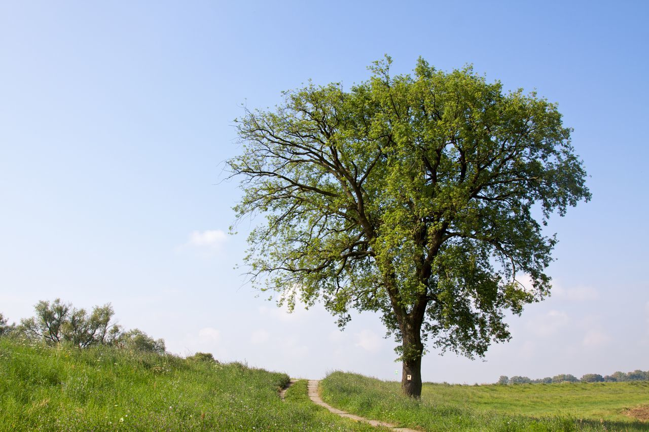 Beauty In Nature Clear Sky Copy Space Day German Oak Landscape_Collection Landscapes Nature Naturelovers No People Oak Tree Outdoors Single Tree Sky Summertime Tranquil Scene Tree Tree_collection